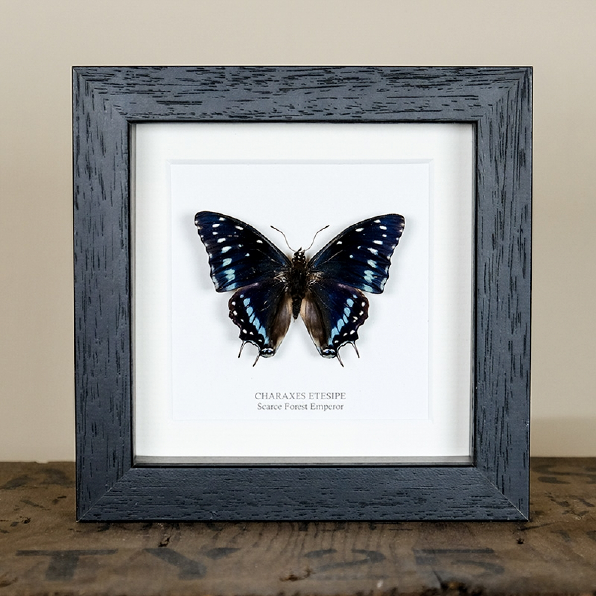 Minibeast Scarce Forest Emperor Butterfly in Box Frame (Charaxes etesipe)