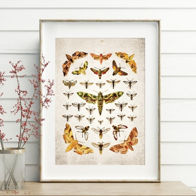 Vintage Entomology Giclee Print (Moths Plate From 1837)