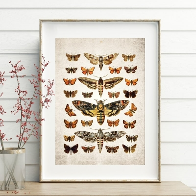 Vintage Entomology Giclee Print (Death's Head & Moths Plate From 1907)