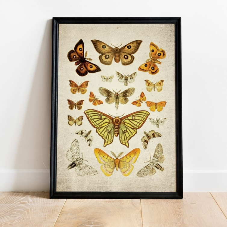 Vintage Entomology Giclee Print (Moth Plate From 1857)