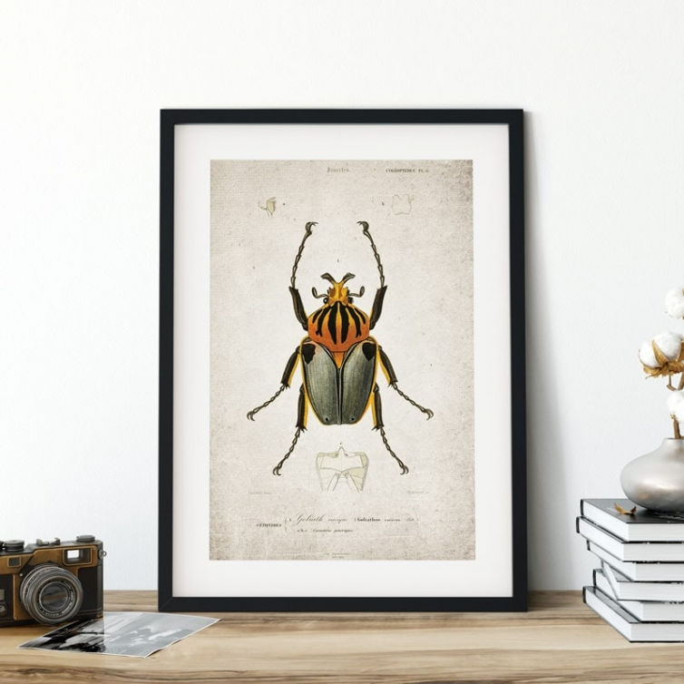 Vintage Entomology Giclee Print (Goliath Beetle Plate From 1907)
