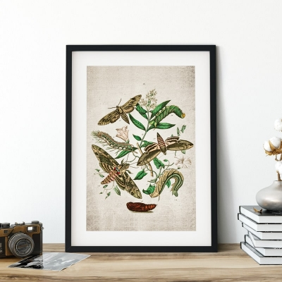Vintage Entomology Giclee Print (European Hawk Moths Plate From 1882)