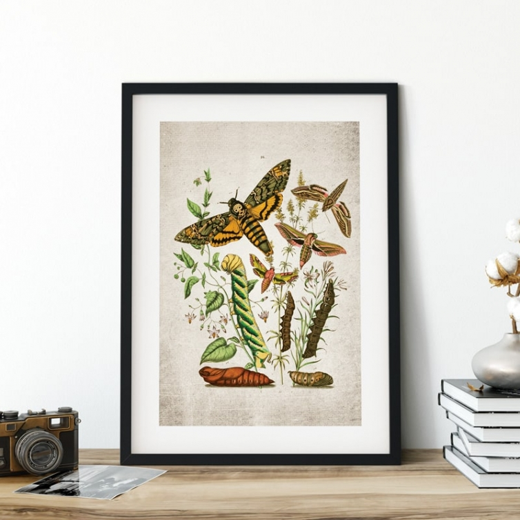 Vintage Entomology Giclee Print (Death Head Moth Plate From 1882)