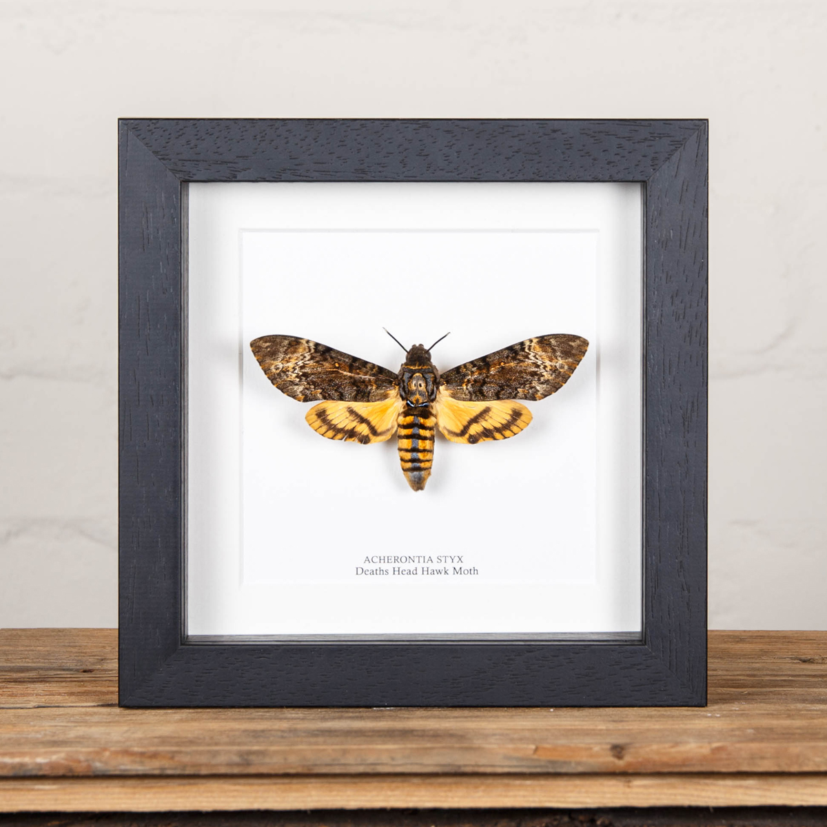 Deaths Head Hawk Moth Silence of the Lambs in Box Frame (Acherontia styx)