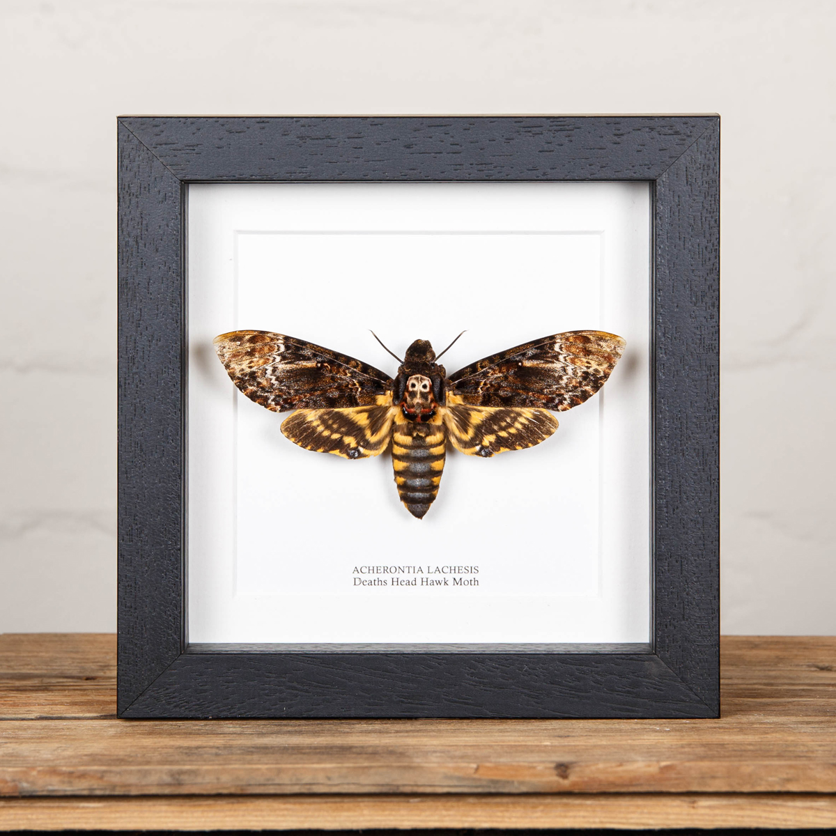 Deaths Head Hawk Moth in Box Frame (Acherontia lachesis)