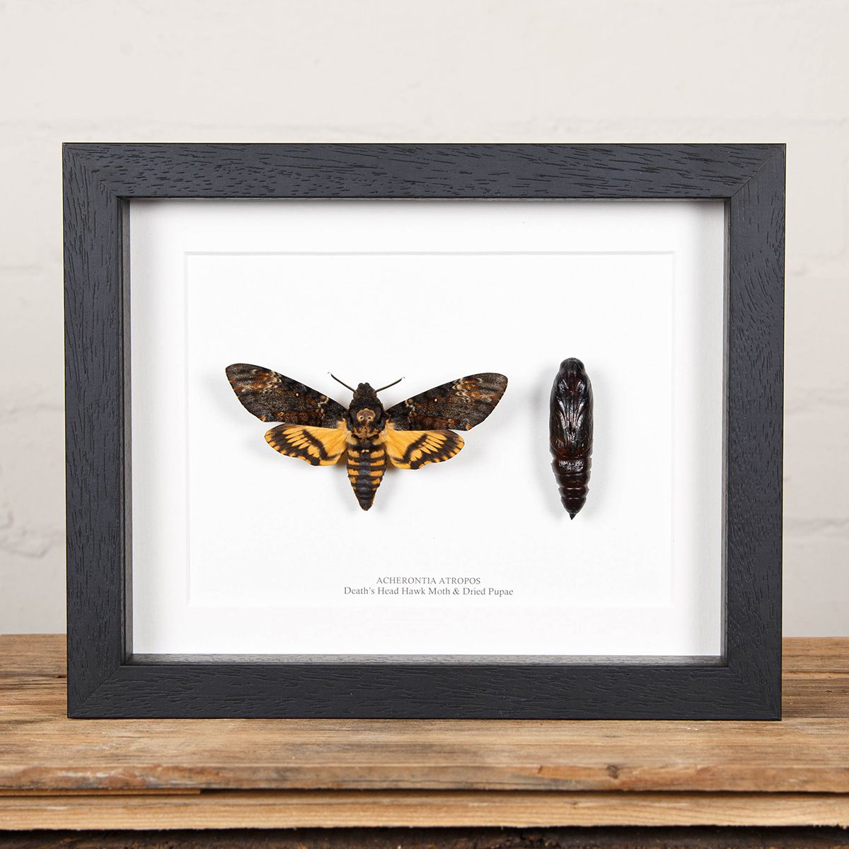 Pupae and Deaths Head Hawk Moth in Box Frame (Acherontia atropos)