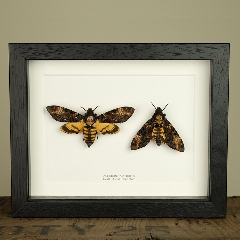 Deaths Head Hawk Moth Pair in Box Frame (Acherontia atropos)