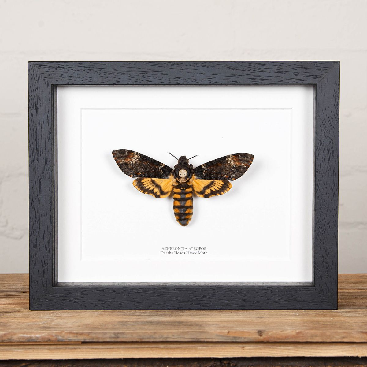 XL Deaths Head Hawk Moth in Box Frame (Acherontia atropos)